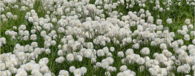 coton-culture
